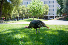 2018 Wild Turkeys on Campus