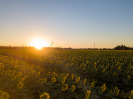 2017 Kidwell Road Sunflowers