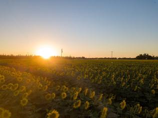 2017 Kidwell Road Sunflowers