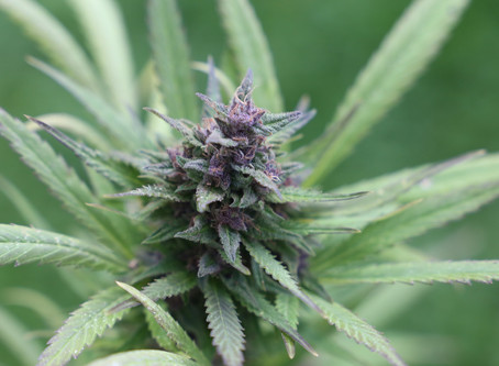Cannabinol: A complete guide to  CBN for beginners.