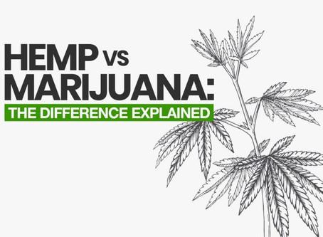 Hemp vs Marijuana: The Difference Explained