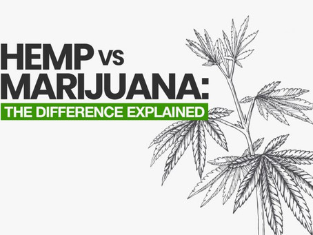 Hemp vs Marijuana: The Difference Explained