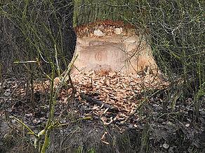 Biberbaum 2.jpg