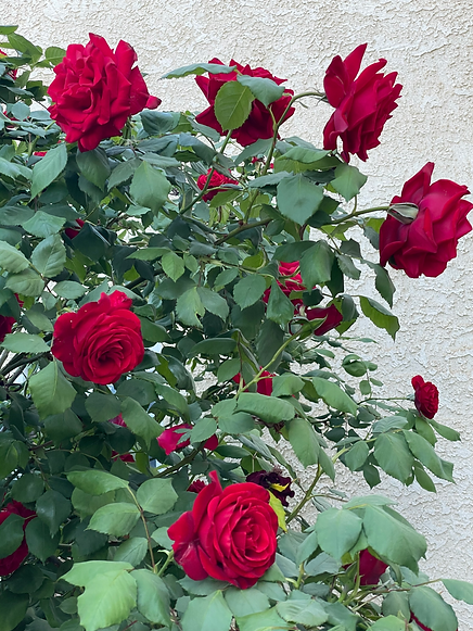roses3.png