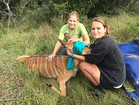 Wild Inside Vet Volunteers South Africa Nyala Capture