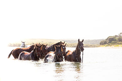 A herd of horses wading through the sea.