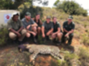 Volunteers with a sedated cheetah.