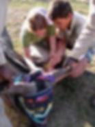 Volunteers injecting antidote to a sedated buffalo.