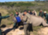 Wild Inside Adventures Veterinary Volunteer Programme South Africa Dehorning Rhino Wildlife Work
