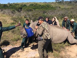 Wild Inside Adventures Veterinary Volunteer Programme South Africa Dehorning Rhino Wildlife Work