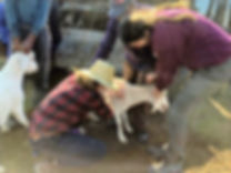 Vet students helping a community goat.