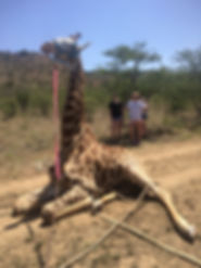 Wild Inside Adventures Veterinary Volunteer Programme South Africa Wildlife Work Game Capture Giraff