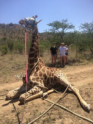 Wild Inside Adventures Veterinary Volunteer Programme South Africa Wildlife Work Game Capture Giraff