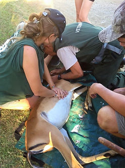 A veterinary nurse performing CPR on a collapsed impala.