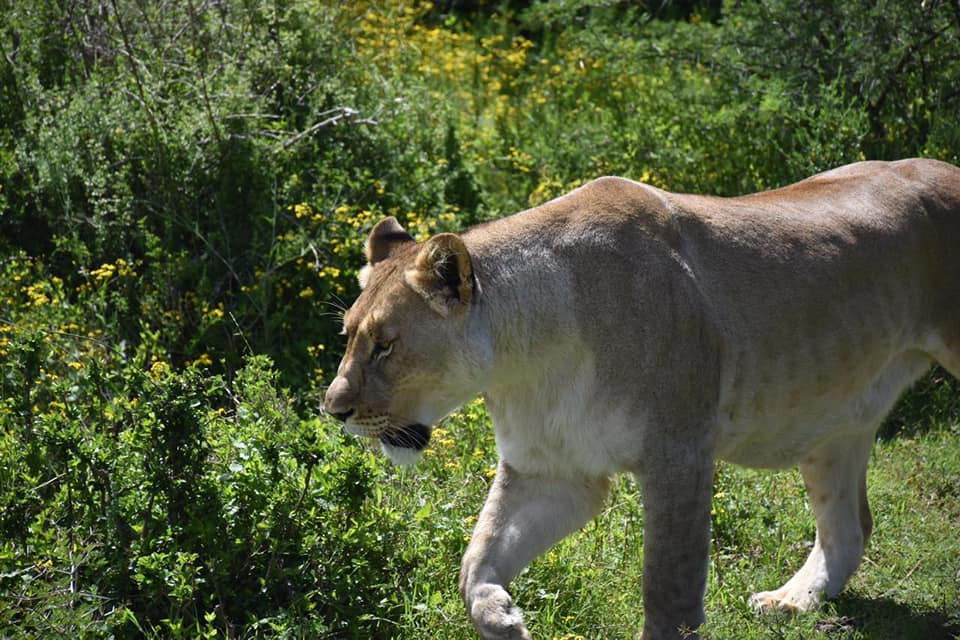 One of the Reserve's Big Cats