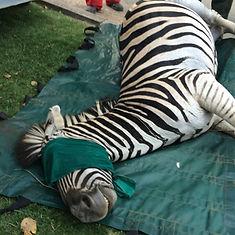 Wild Inside Vet Volunteers South Africa Immobilised Zebra