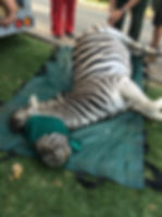 Wild Inside Adventures Veterinary Volunteer Programme South Africa Zebra wildlife Work Game Capture