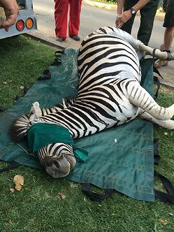 Wild Inside Adventures Veterinary Volunteer Programme South Africa Zebra wildlife Work Game Capture