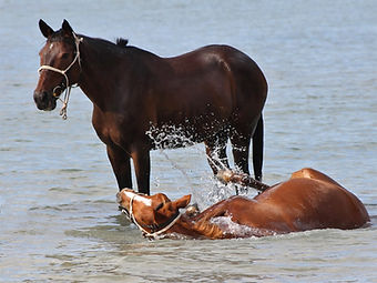 Two horses playing in the sea in Mozambique.