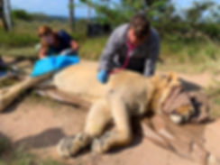 A veterinary nurse monitoring a sedated lion.