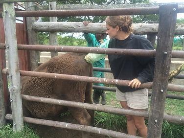 Wild Inside Adventures Veterinary Volunteer Programme South Africa Vet Nurse Pregancy Testing Cows Farm Work Agricultural lofestock Student