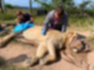 Veterinary Nurse Monitoring a Sedated Lion