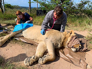 Veterinary Nurse Monitoring a Sedated Lion