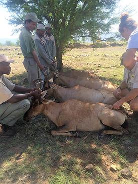 Wild Inside Adventures Veterinary Volunteer Programme South Africa Wildlife Work Game Capture