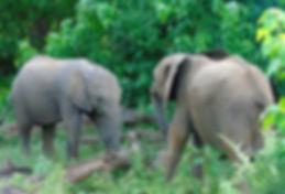 Baby Elaphants Playing