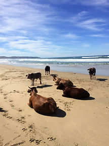 Wild Inside Adventures South Africa Inguni Cows At Beach