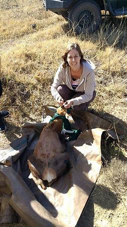 Wild Inside Adventures Veterinary Volunteer Programme South Africa Blesbok Wildlife Work Game Capture Vet Nurse