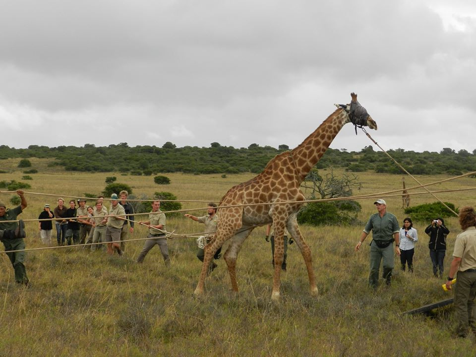 Giraffe Relocation