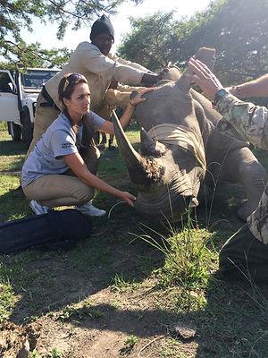 Wild Inside Adventures Veterinary Volunteer Programme South Africa Rhino Wildlife Work Game Capture