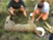 Volunteers fitting a sedated cheetah with a tracking collar.