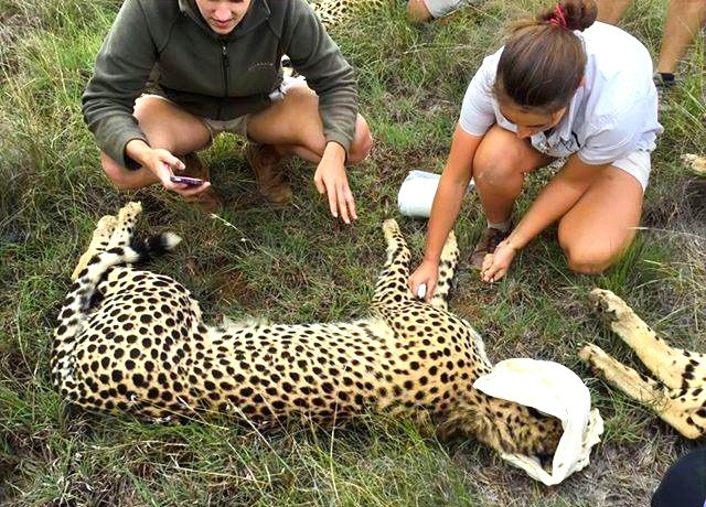 Fitting Cheetahs with Tracking Collars
