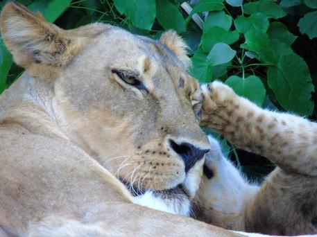 Lioness + Cub