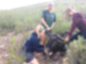Wild Inside Adventures Veterinary Volunteer Programme South Africa Wildebeest Wildlife Work Game Capture