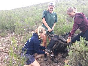 Wild Inside Adventures Veterinary Volunteer Programme South Africa Wildebeest Wildlife Work Game Capture