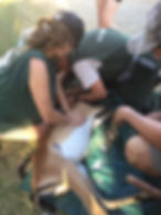 Wild Inside Adventures Veterinary Volunteer Programme South Africa Wildife Work Game Capture
