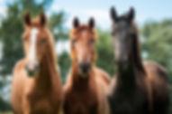 three young horses