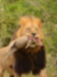 A male lion with a kill