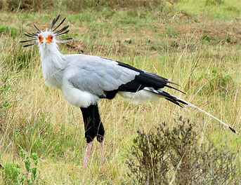 A secretary bird