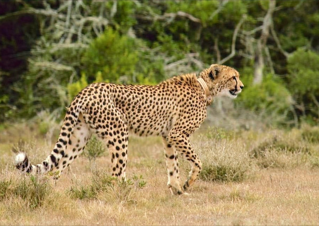 A Cheetah Fitted with a Tracking Collar