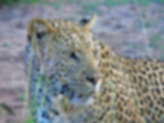 Leopard close up of face