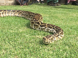 Wild Inside Adventures South Africa Python
