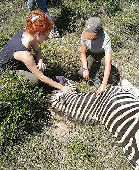 Wild Inside Veterinary Volunteer Programme South Africa Monitoring A Zebra