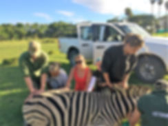 Students assisiting with a sedated zebra.