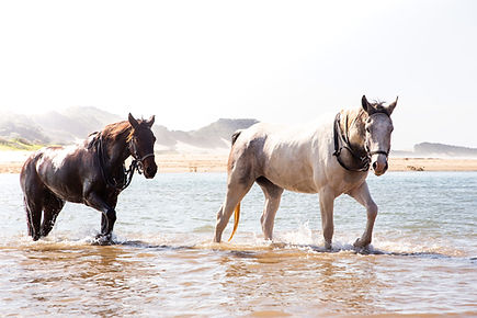Two horses walking through the sea.