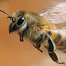 wildbienen-schweiz.jpg