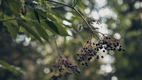 Elderberry:  Why You Need this Superfood